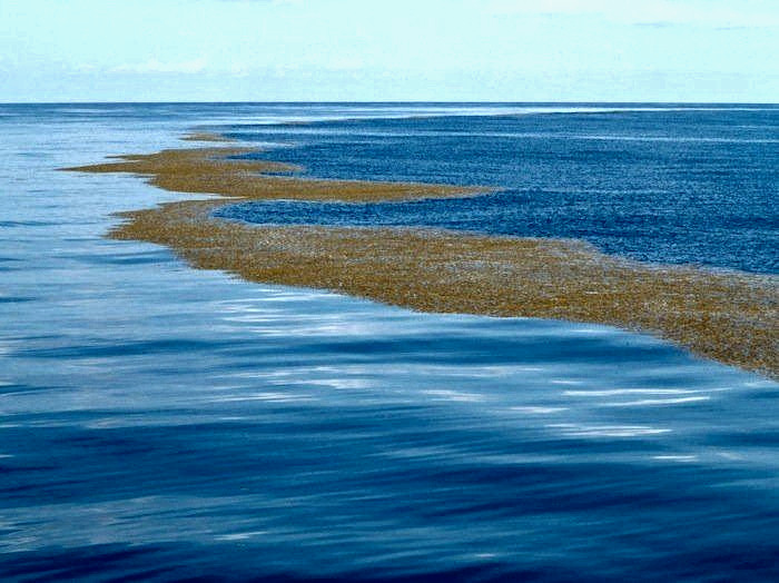 Sargasso sea image