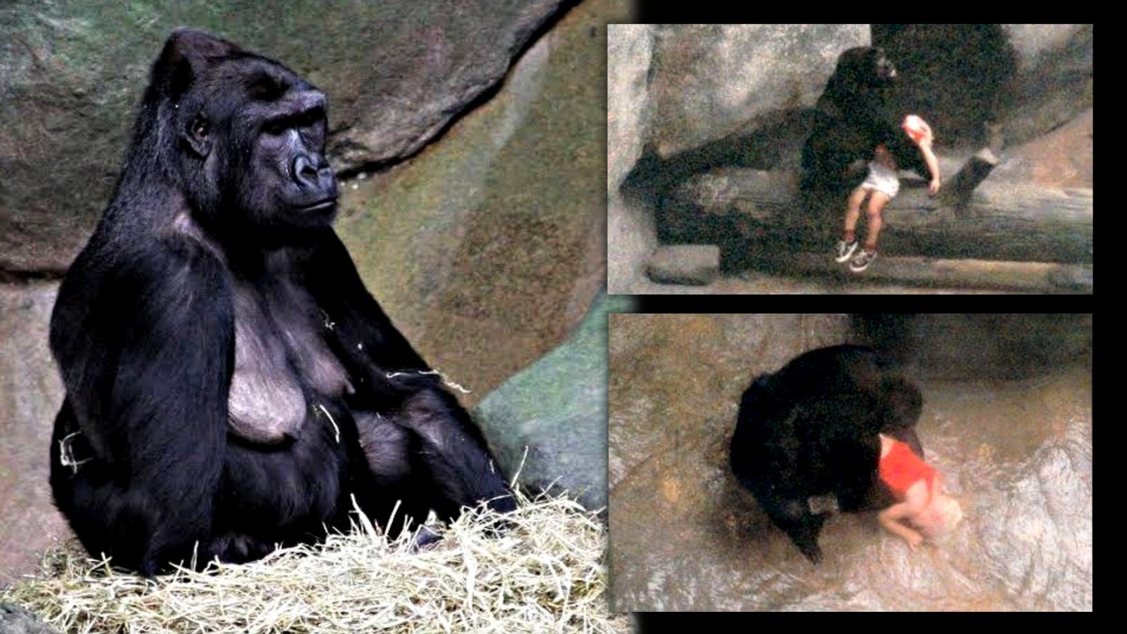 Binti Jua: This female gorilla saved a child who fell into her zoo enclosure 3