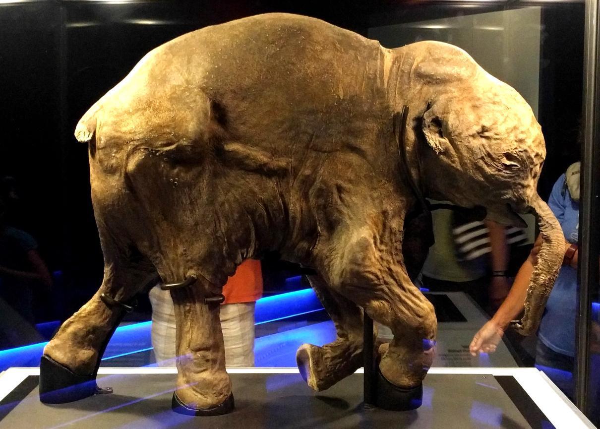 Lyuba – A 42,000 Years Old Woolly Mammoth