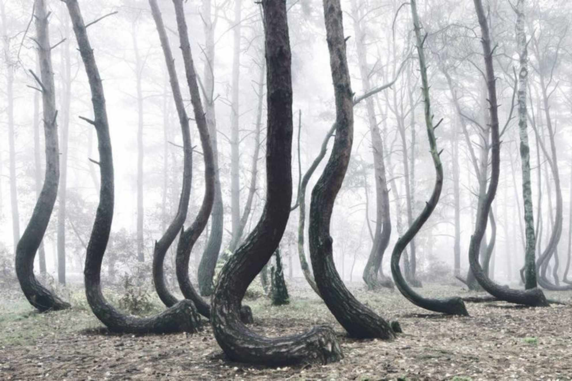 The Crooked Forest Polen