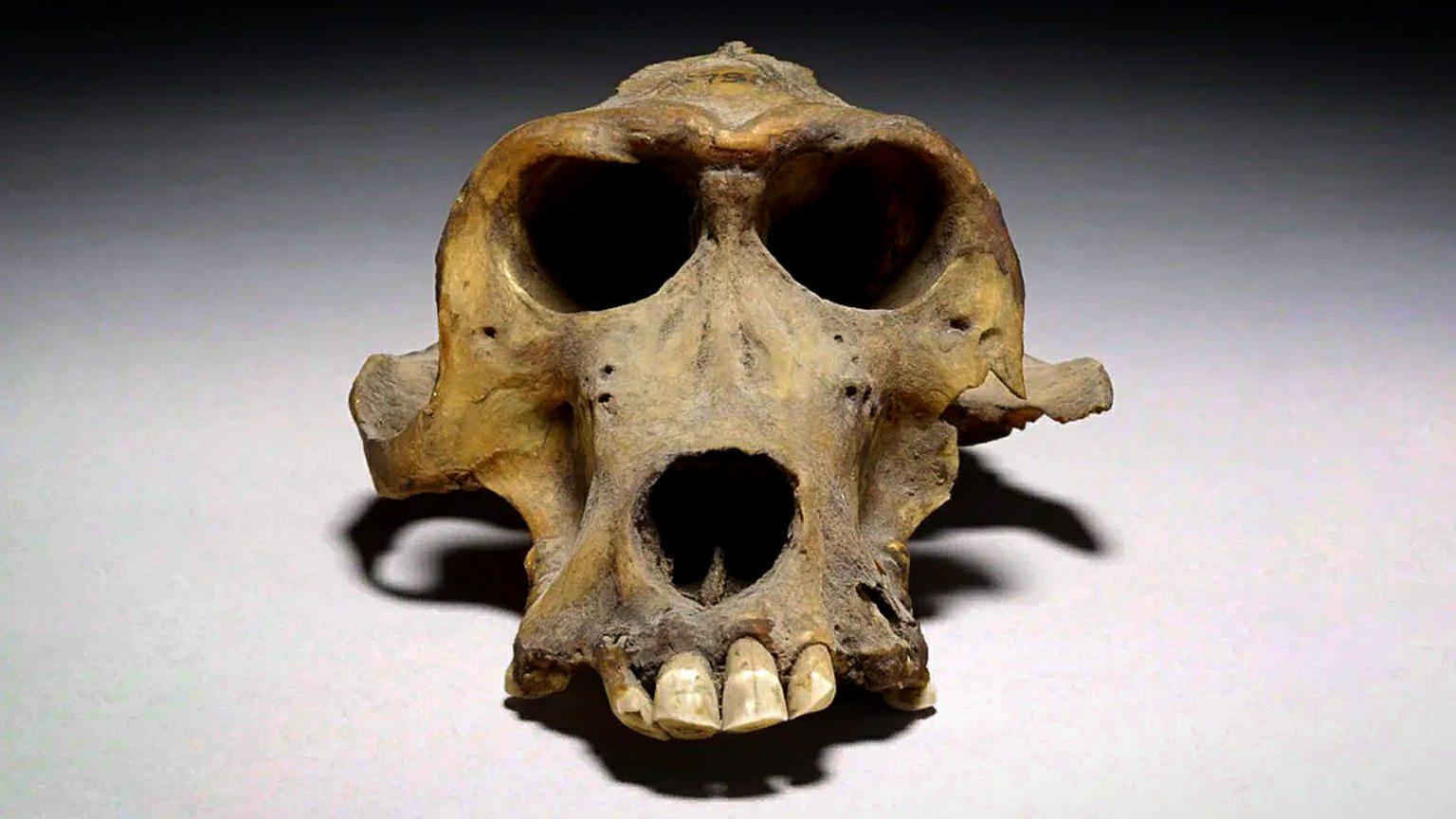 Baboon skull