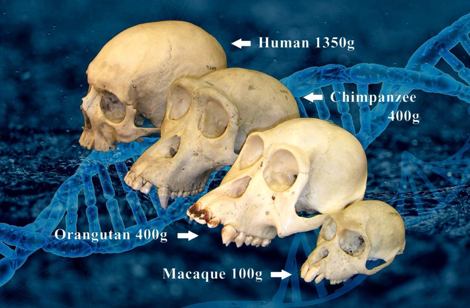 Primate skulls and human skull