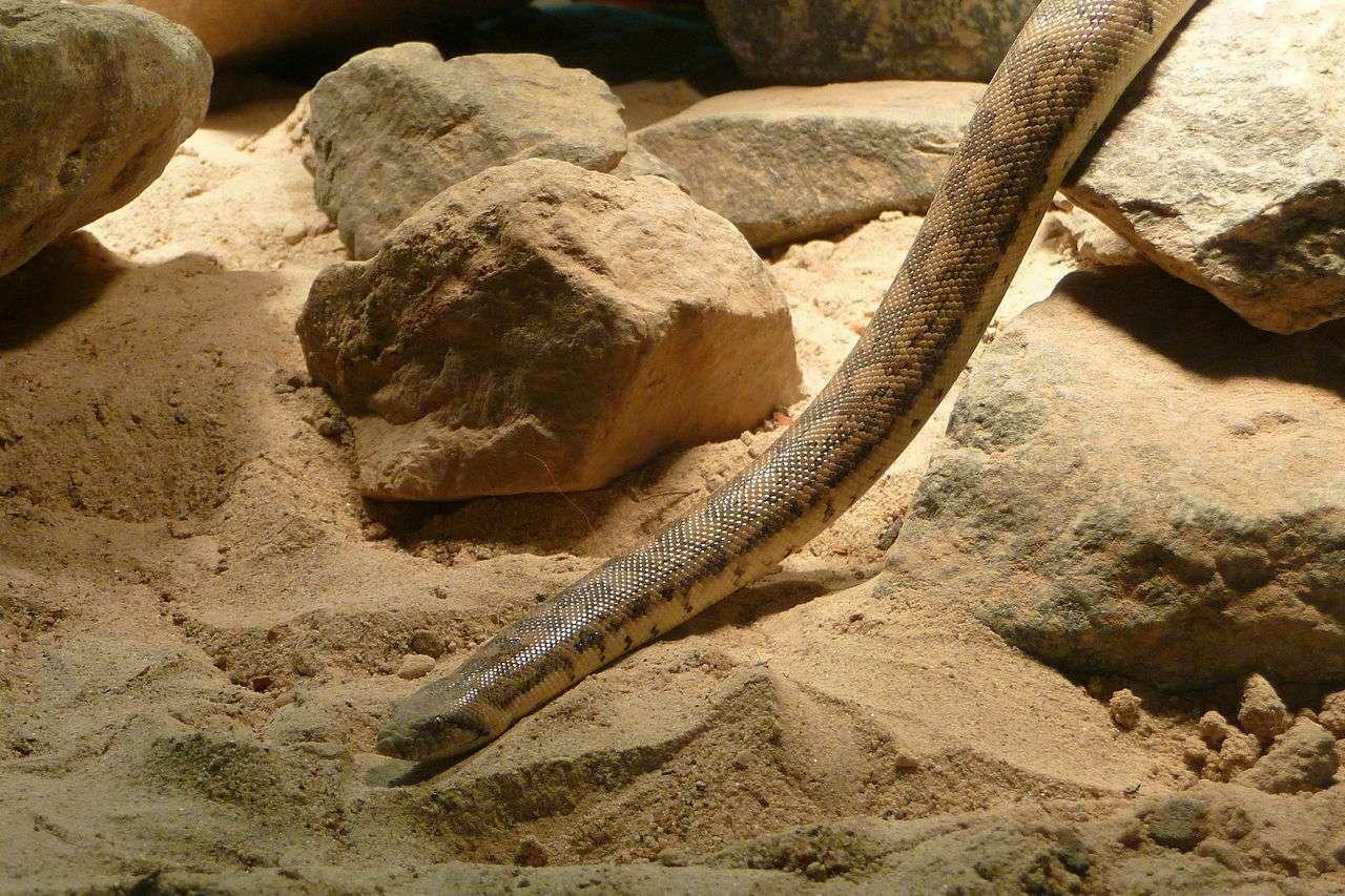 Tartar sand boa (Eryx tataricus), possible prototype of the legend