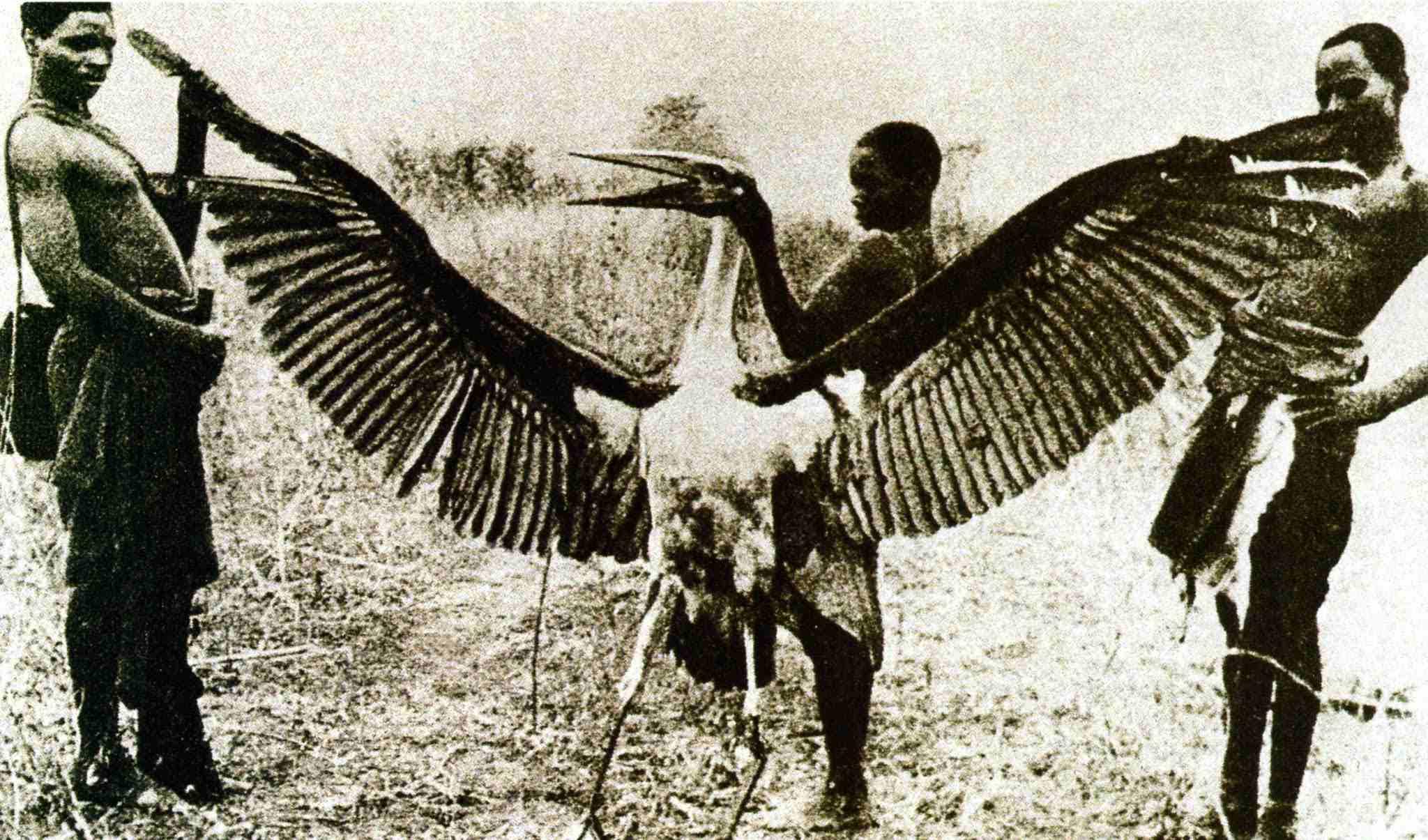 Kongamato – qui a dit que les ptérosaures étaient éteints ? 4