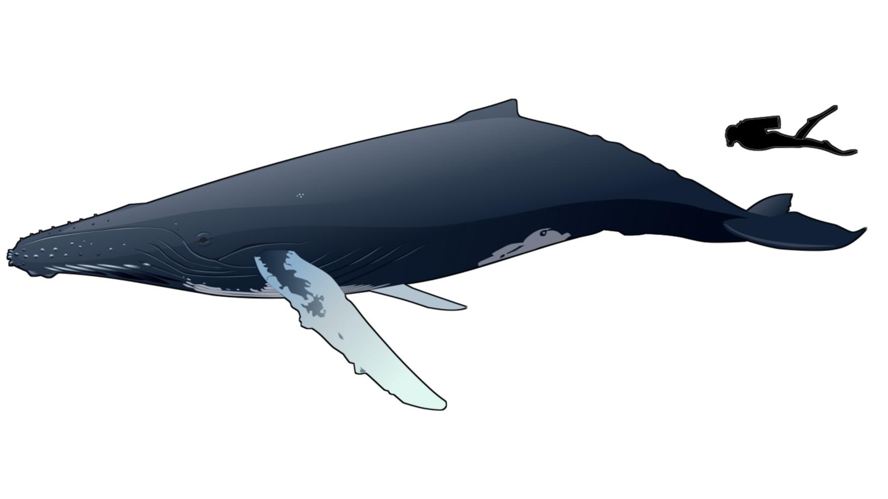 Michael Packard, humpback whale