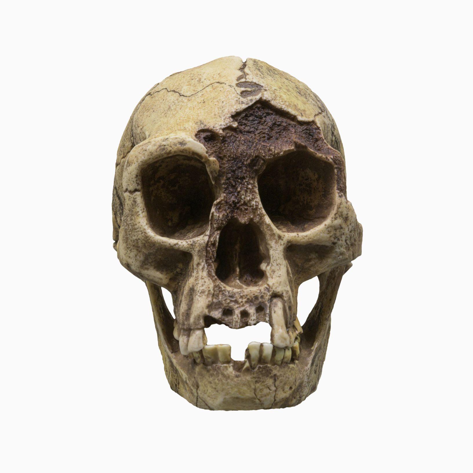 Schedel van H. floresiensis (Flores Man), bijgenaamd 'Hobbit', is een soort van kleine archaïsche mens die het eiland Flores, Indonesië bewoonde. © Image Credit: Dmitriy Moroz | Licentie van DreamsTime.com (Redactionele/commerciële gebruiksfoto, ID: 227004112)
