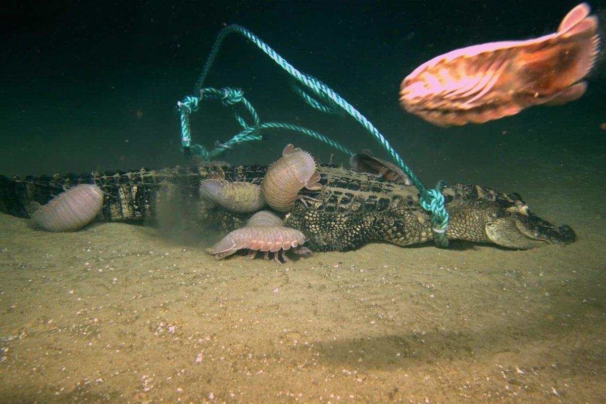 Мог ли Кракен действительно существовать? Ученые затопили в море трех мертвых аллигаторов, один из которых оставил после себя только пугающие объяснения! 5